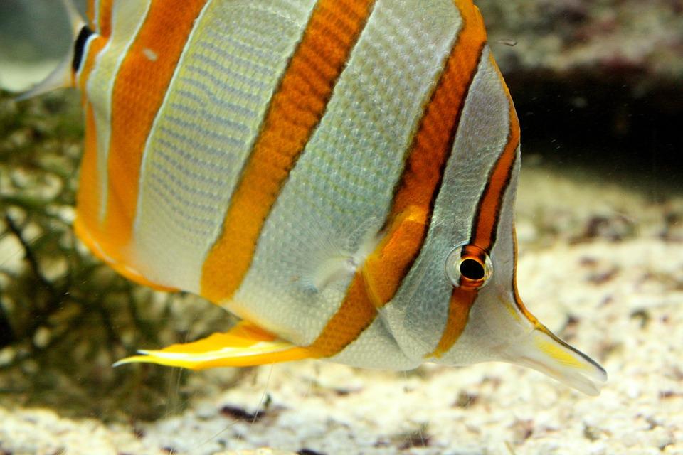 Aquarium, Fish, Striped, Yellow And White