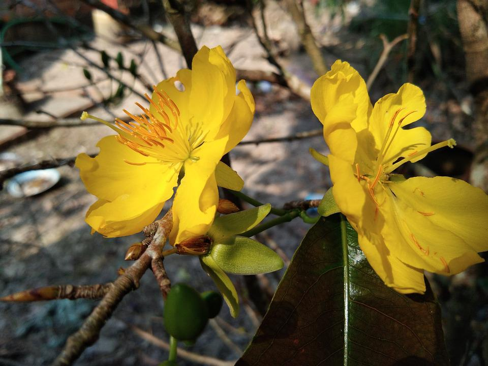 Yellow Apricot Flower, In Kien Giang Province