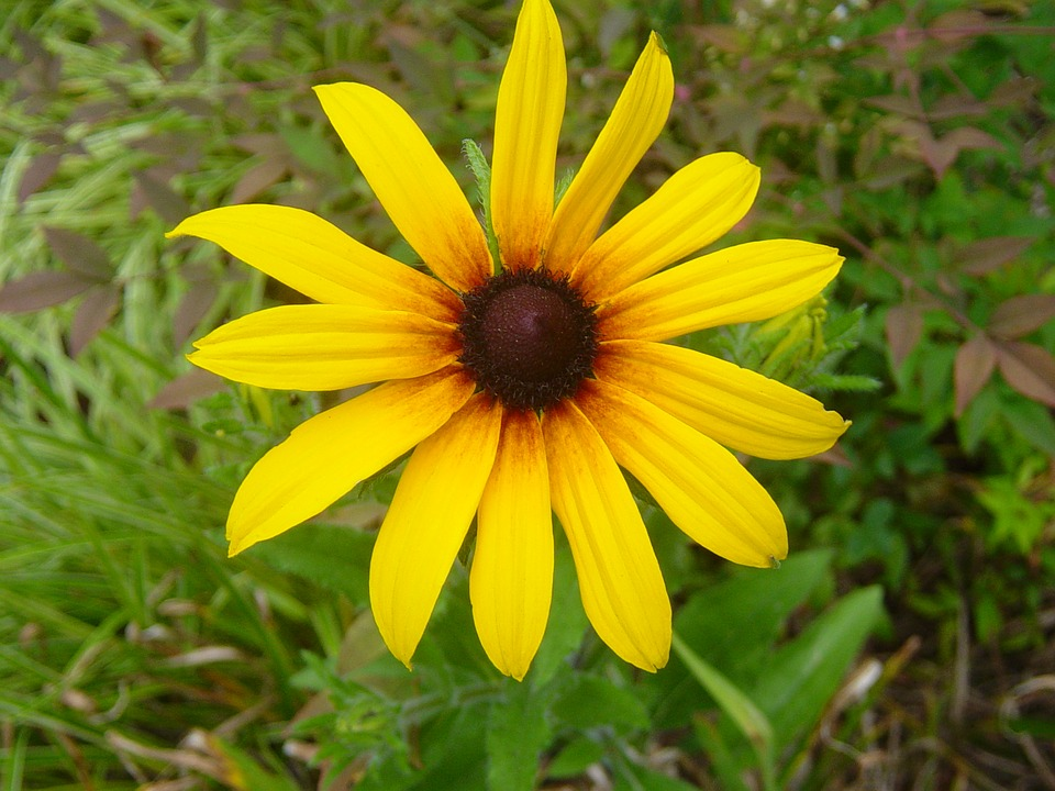 Daisy, Yellow, Asteraceae, Flower