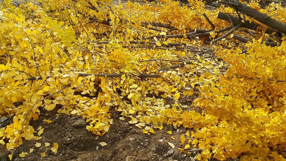 Spring, Plants, Yellow, Autumn, Forsythia, Leaf