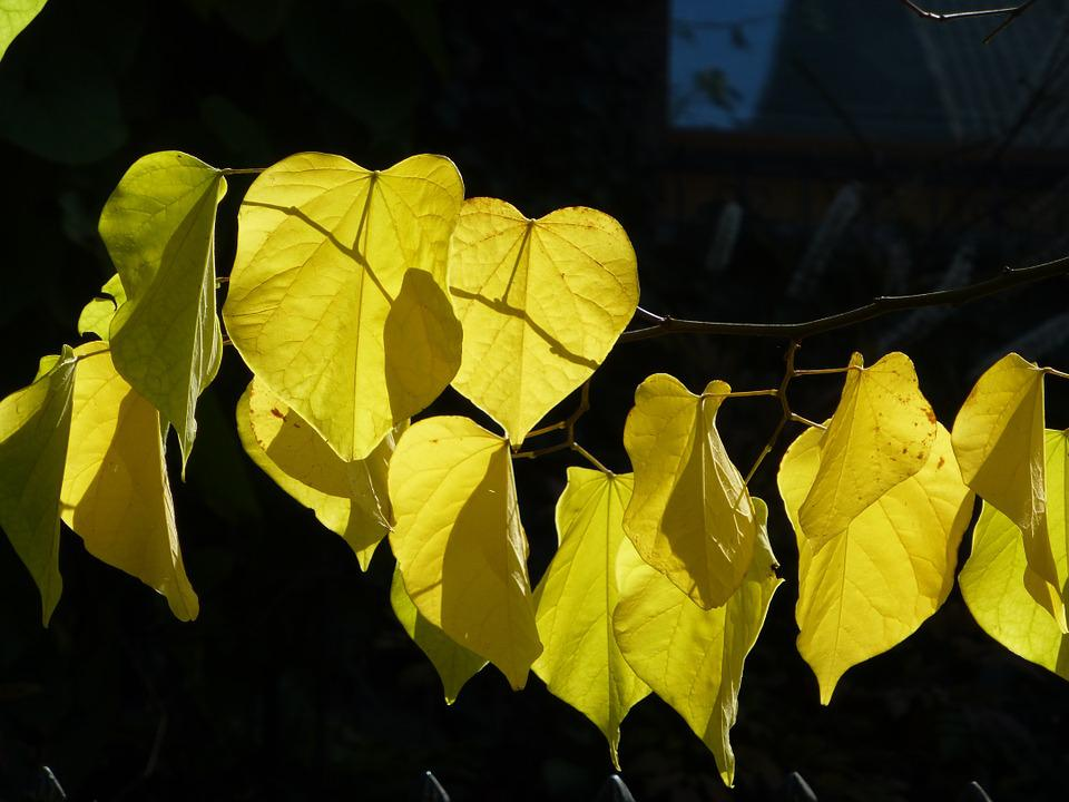 Fall Foliage, Judas Tree, Yellow, Back Light, Leaves