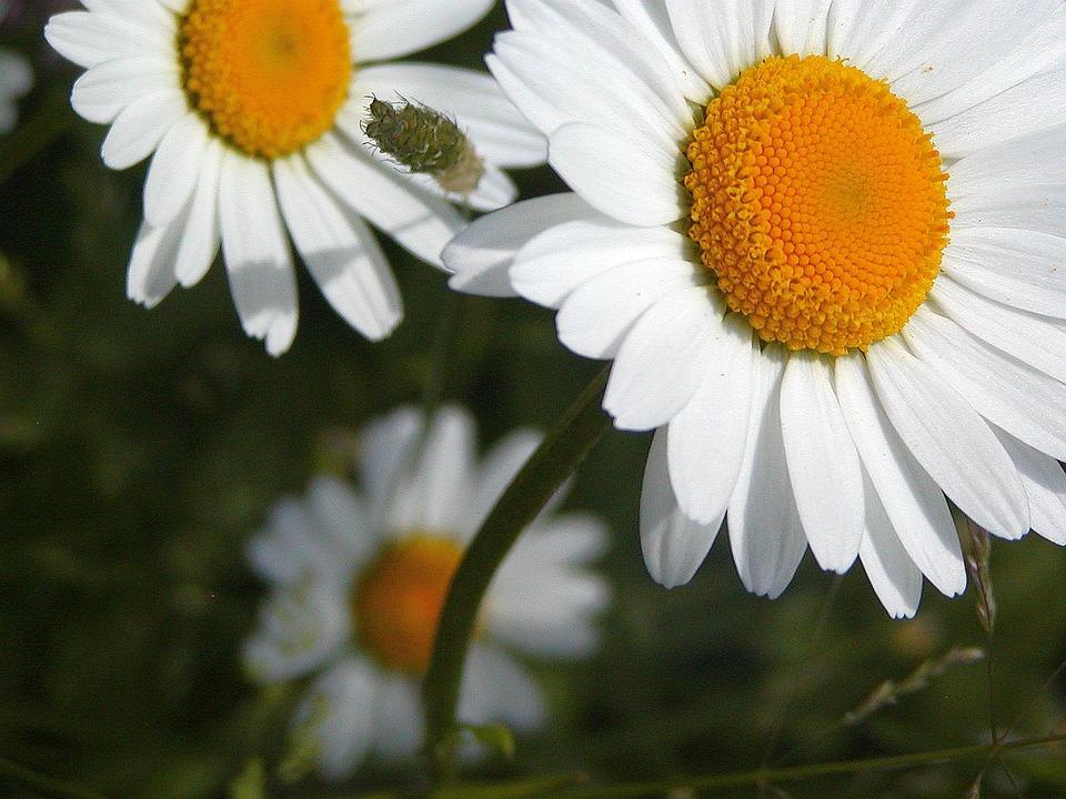 Daisy, White, Yellow, Tickets, Detail, Beauty