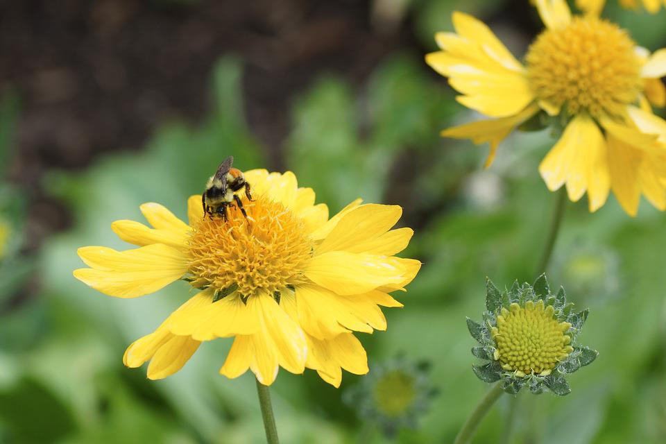 Daisy, Bee, Yellow, Flower, Pollen, Spring