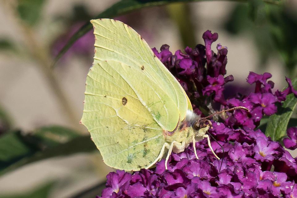 Butterfly, Yellow, Wings, Ben, Insect, Shrub, Spot