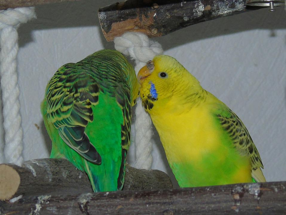 Budgie, Parrot, Bird, Yellow, Green, Crawl, Affection