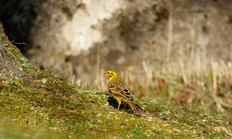 Yellowhammer, Bird, Yellow Bird, Garden