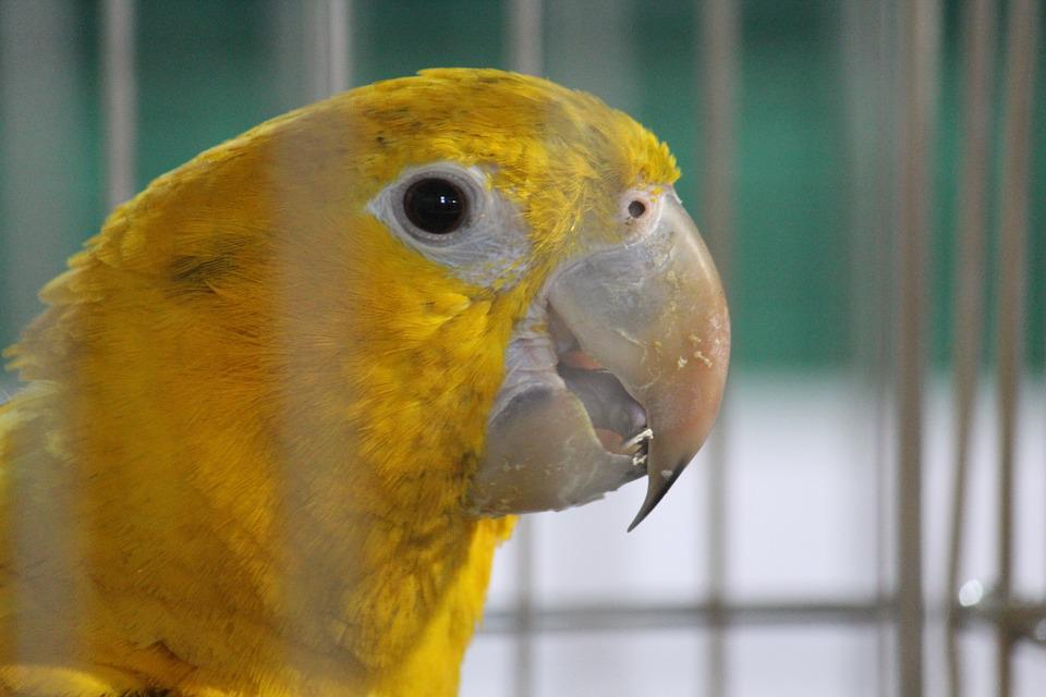 Parrot, Yellow, Bird, Cage