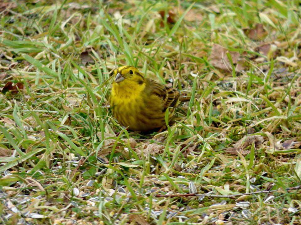 Bird, Birds, Yellowhammer, Yellow, Garden, Nature