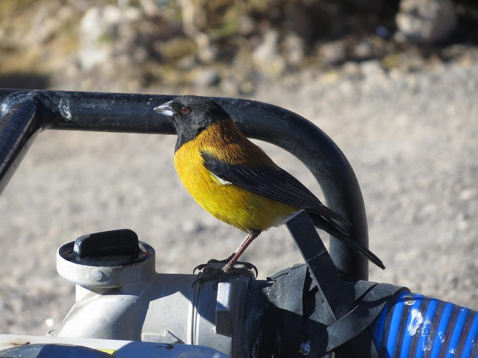 Bird, Bolivia, Andes, Cordillera, Yellow, Black