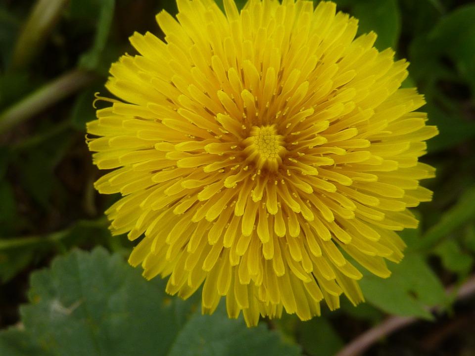 Dandelion, Flower, Yellow, Plant, Bloom, Blossom, Bloom