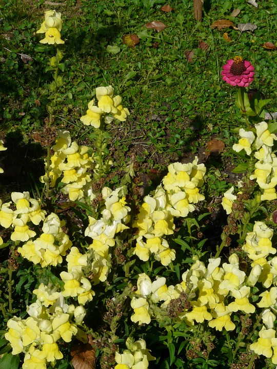 Antirrhinum Majus, Blossom, Bloom, Flower, Yellow