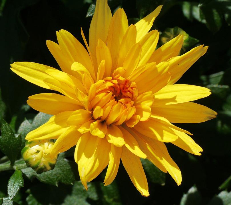 Chrysanthemum, Blossom, Bloom, Yellow, Golden Yellow