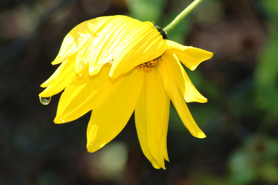 Flower, Yellow, Bloom, Close Up, Drop Of Water