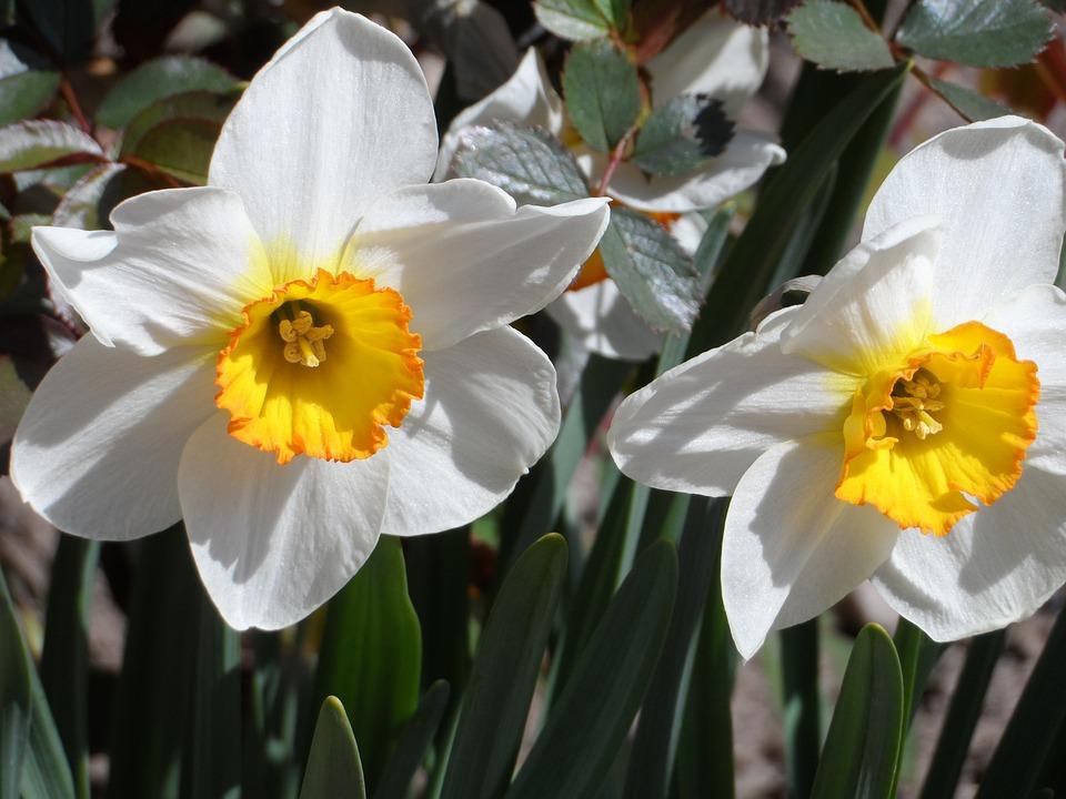 Osterglocken, Narcissus, Yellow, White, Blossom, Bloom