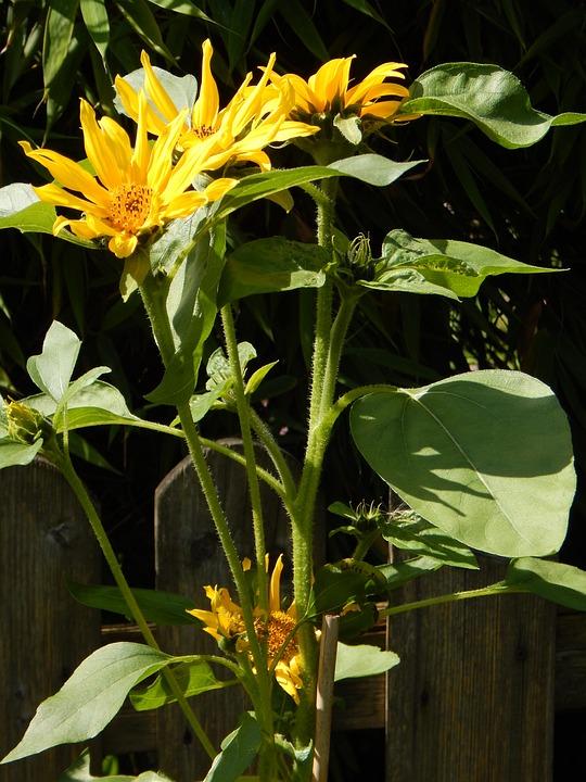 Sun Flower, Yellow, Flower, Blossom, Bloom, Nature