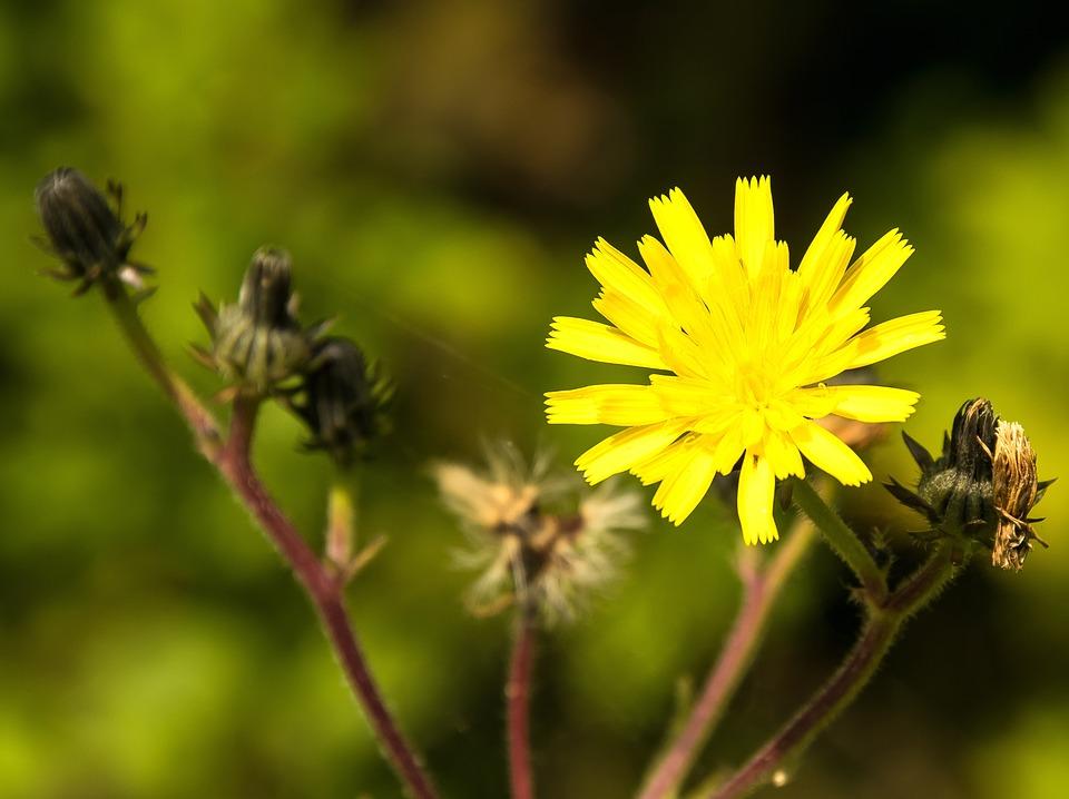 Wild Flower, Yellow, Blossom, Bloom, Close