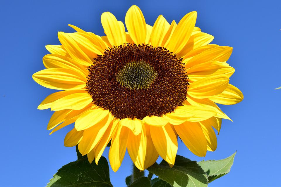 Sunflower, Yellow, Summer, Blossom, Bloom, Flower