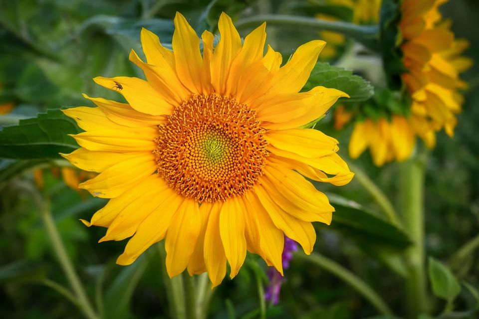 Sunflower, Flower, Yellow, Summer, Blossom, Bloom