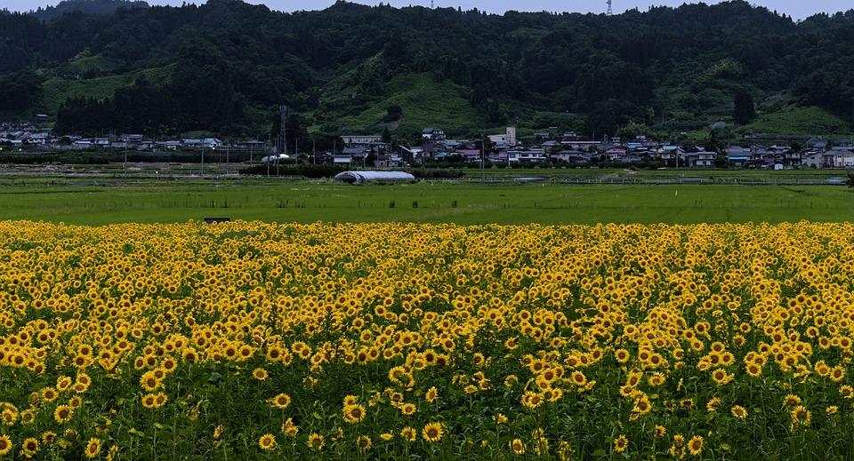 Field, Sunflowers, Yellow, Bloom, Blossom, Nature