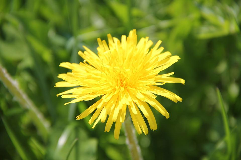 Dandelion, Flower, Plant, Nature, Yellow, Blossom