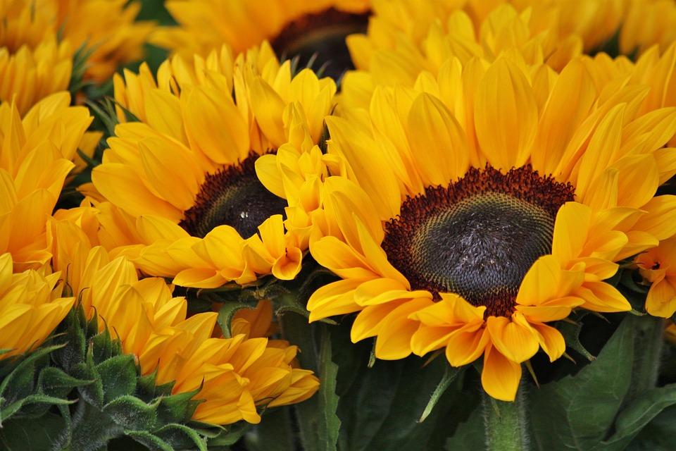 Sunflower, Flowers, Blossom, Bloom, Yellow, Plant