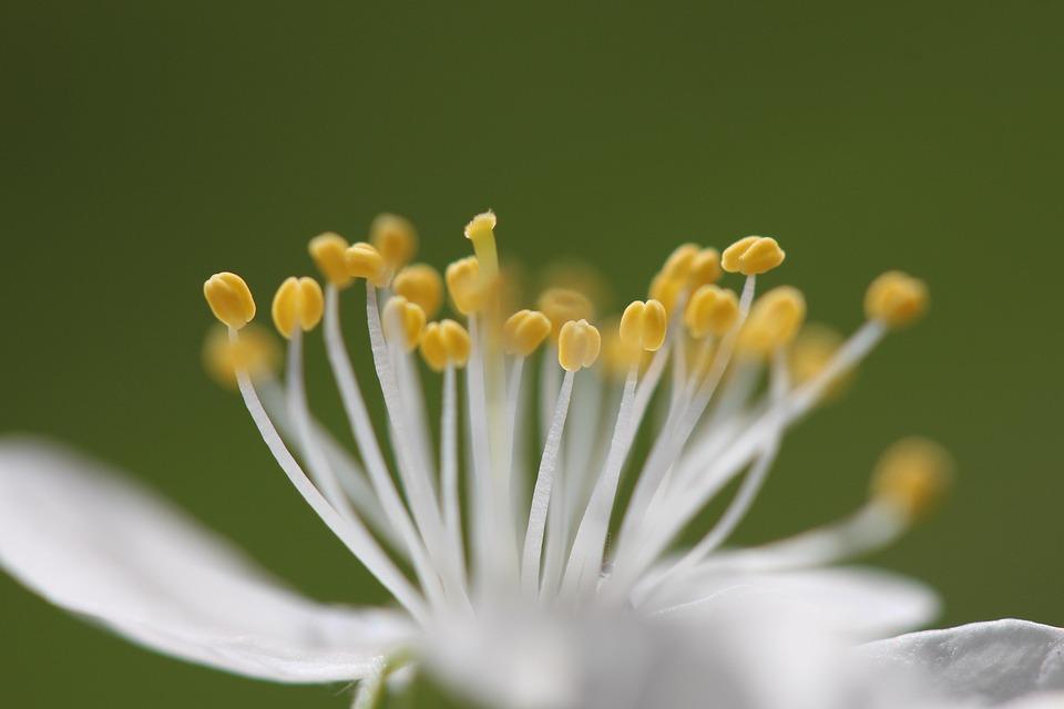 Blossom, Bloom, Stamen, Green, Yellow, White, Nature