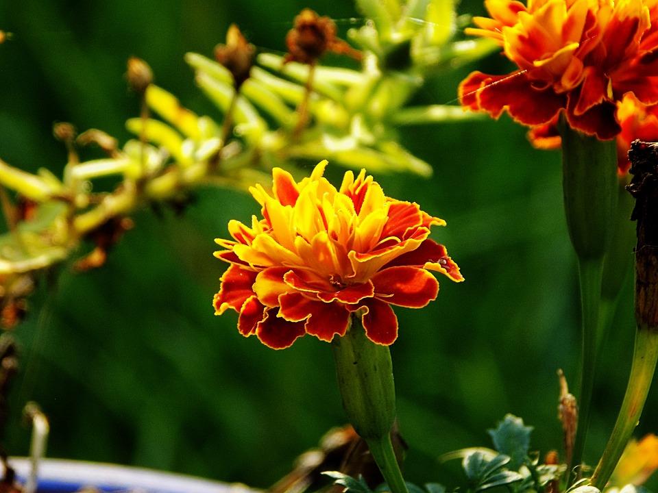 Marigold, Flower, Bloom, Blossom, Yellow, Garden