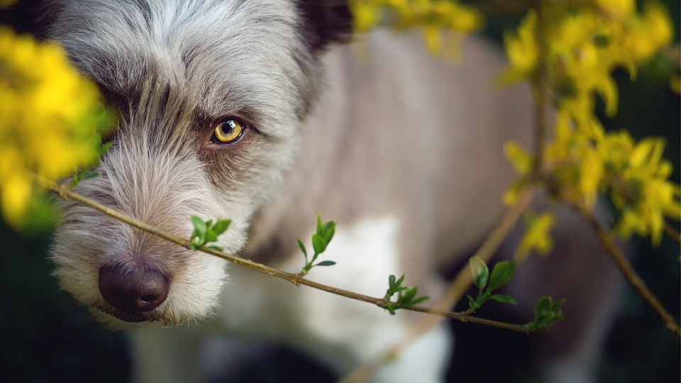 Dog, Yellow, Border Collie, Bearded Collie, Cute, Pet