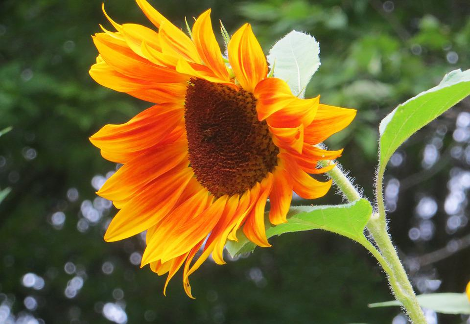 Sunflower, Yellow, Spotted, Flower, Floral, Botanical