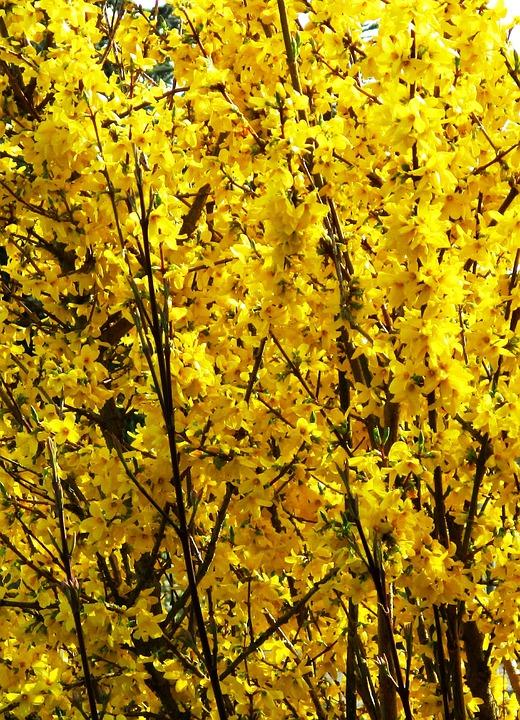 Bush, Forsythia, Flowers, Yellow, Bright, Spring