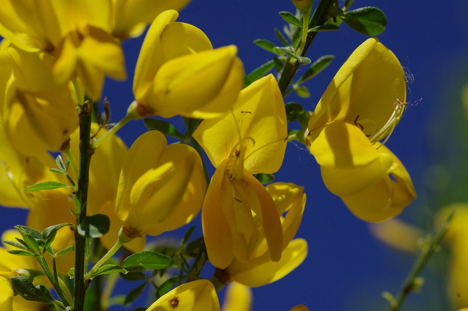 Free Photo Yellow Broom Bloom Flower Blossom Wild Plants Sky Max Pixel