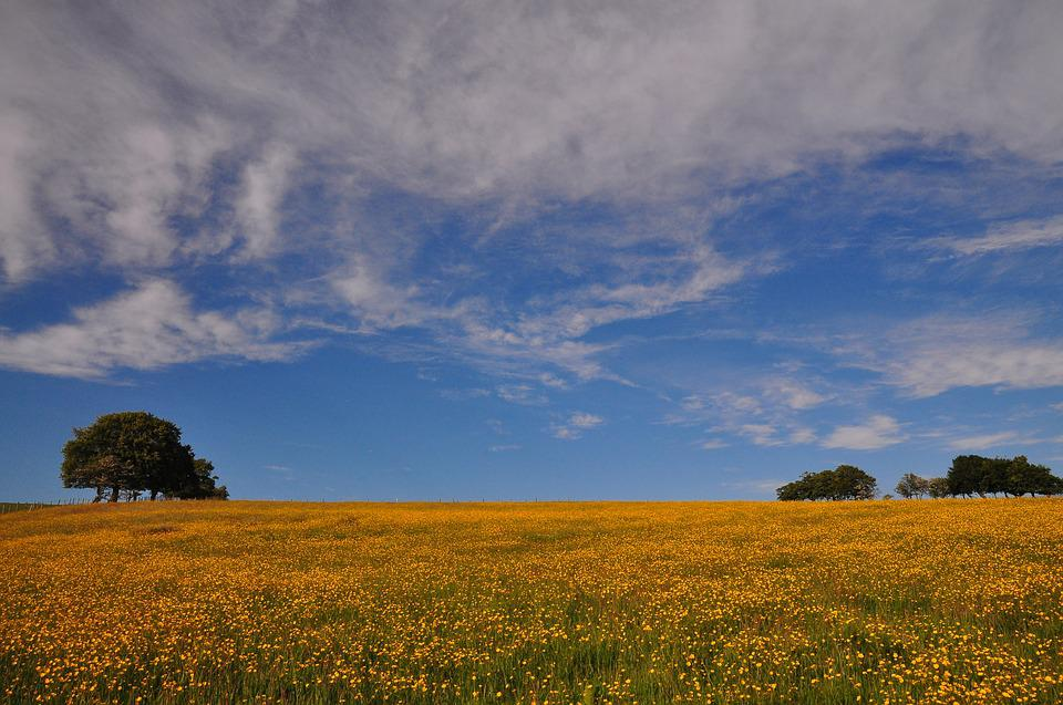 Buttercup, Meadow, Field, Spring, Yellow