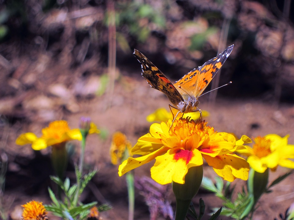 Butterfly, Nature, Flowers, Yellow, Insects, Orange