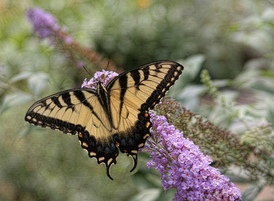 Butterfly, Eastern Tiger Swallowtail, Nature, Yellow