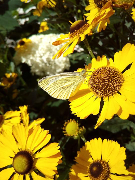 Butterfly, Nectar, Flowers, Yellow, Summer