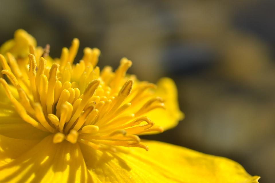 Caltha Palustris, Flower, Pond, Yellow, Petals