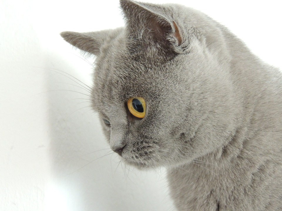 Cat, Gray, Gentle Caress On, Fur, Eyes, Yellow
