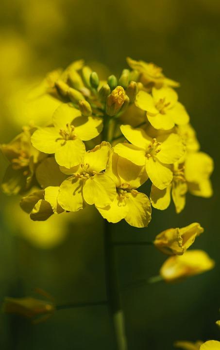 Oilseed Rape, Cereals, Yellow, Plant