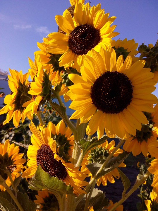 Sunflowers, Sunflower, Chapter, Flowers, Yellow, Plant
