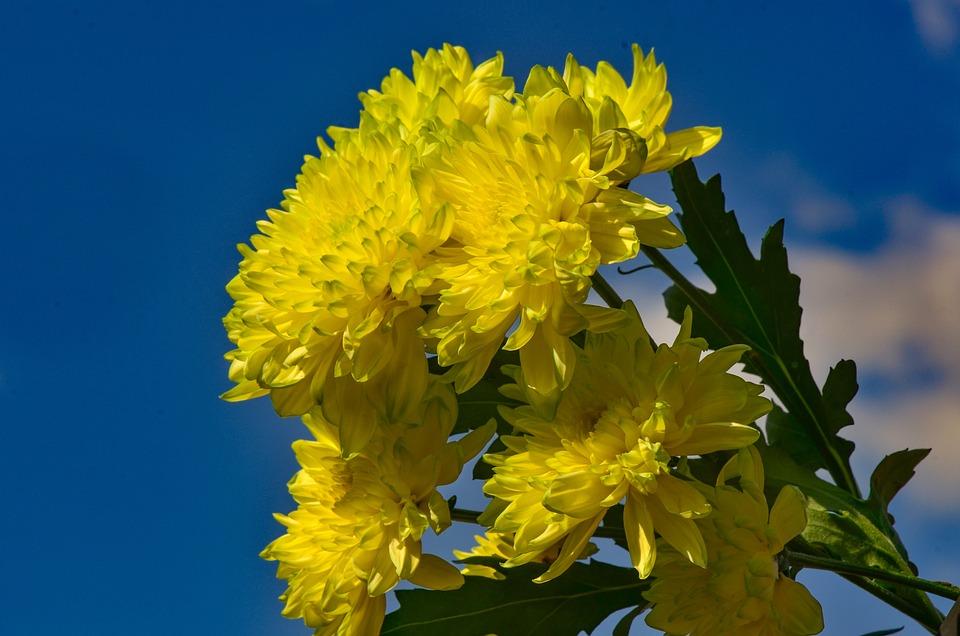 Chrysanthemums, Yellow, Flower, Plant, Garden, Nature