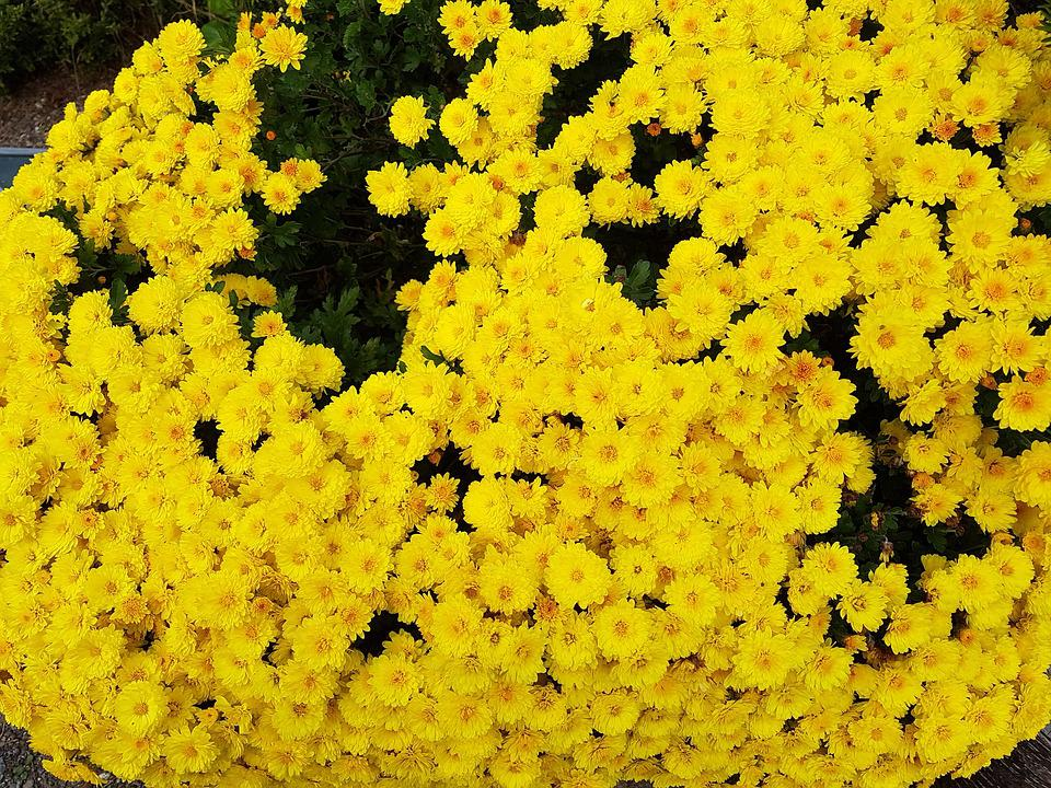 Free photo yellow chrysanthemums taurus country fall flowers max pixel taurus country yellow chrysanthemums fall flowers mightylinksfo
