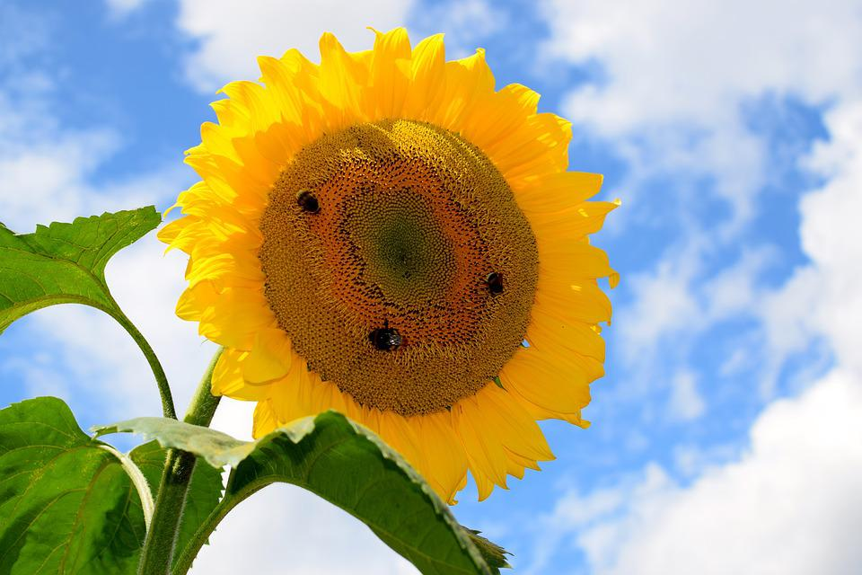 Sun Flower, Bees, Yellow, Close, Blossom, Bloom, Nature