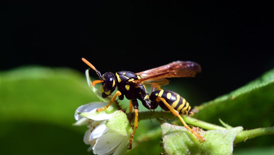 Wasp, Raspberry Flowers, Close, Insect, Yellow, Black