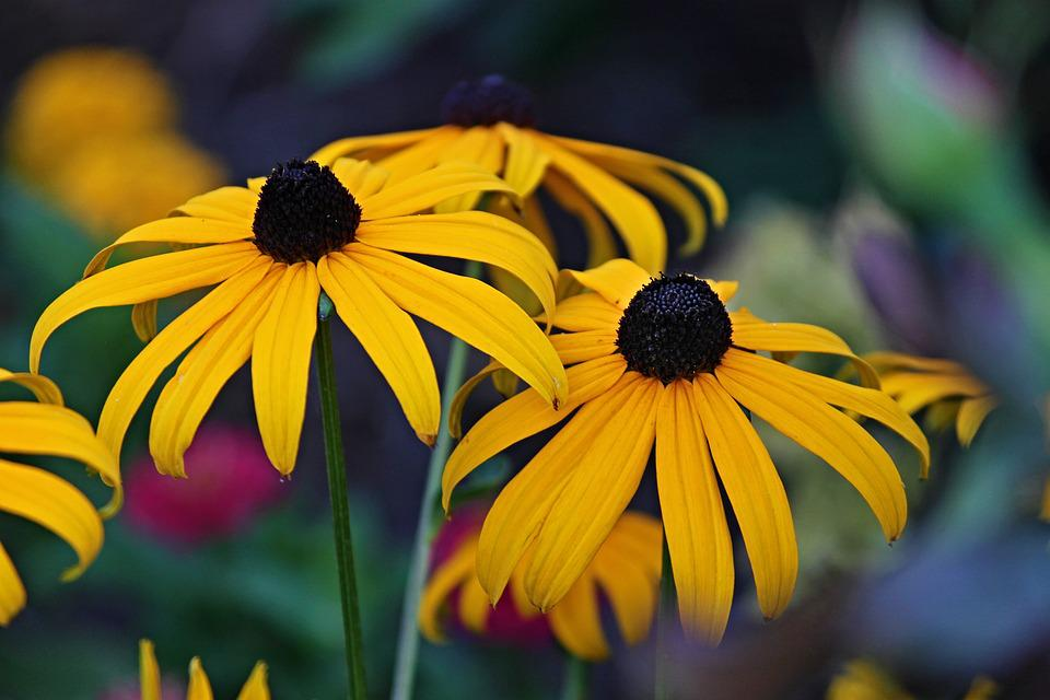 Coneflower, Yellow Coneflower, Rudbeckia Fulgida