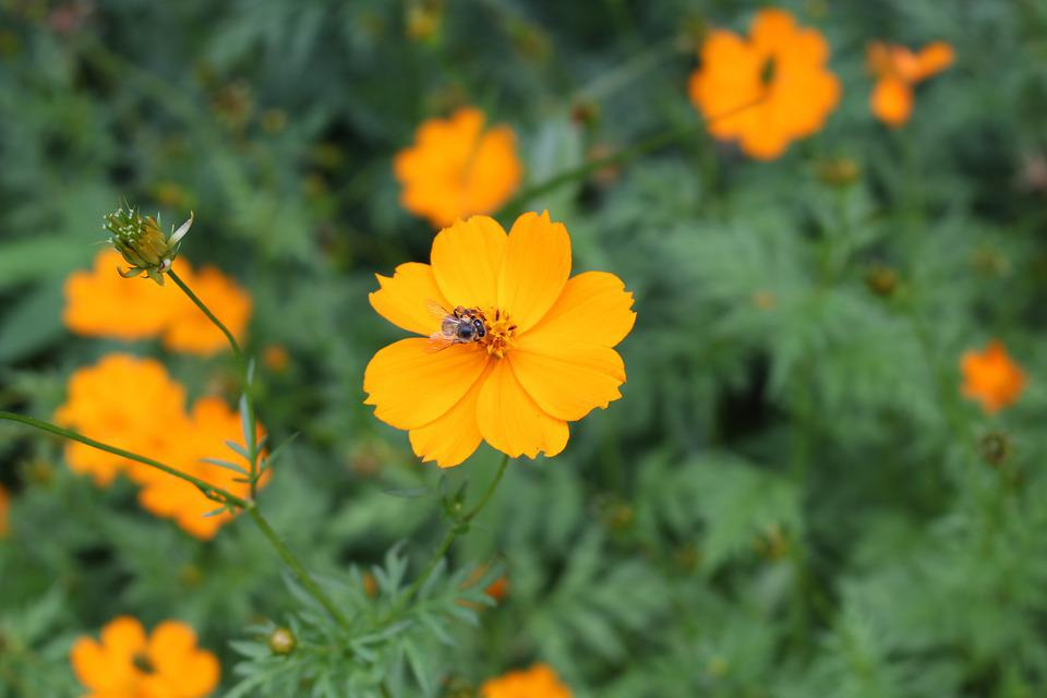 Yellow Cosmos, Flower, Yellow, Orange, Bee, Pollination