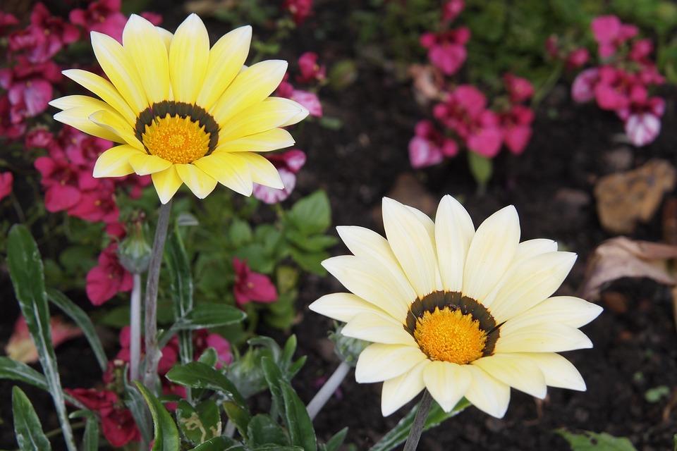 Gazania, Flower, Cream, Yellow, Blossom, Summer
