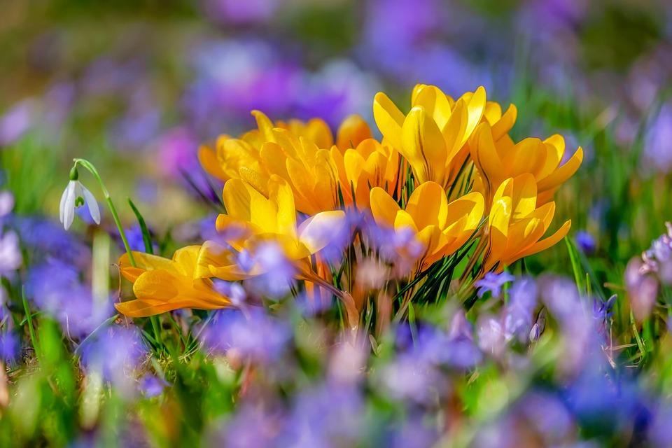 Crocus, Flower, Blossom, Bloom, Yellow, Flora, Spring