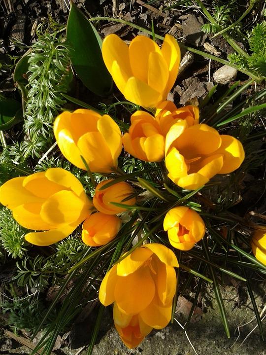 Crocus, Spring, Flowers, Yellow, Spring Flower