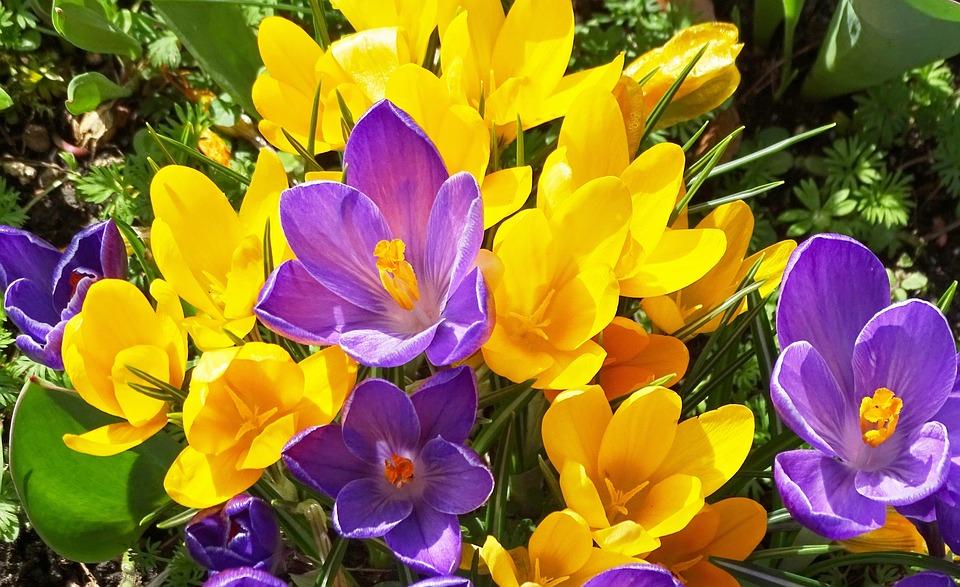 Free photo yellow crocus violet crocus flowers flowers spring max crocus crocus flowers yellow violet flowers spring mightylinksfo
