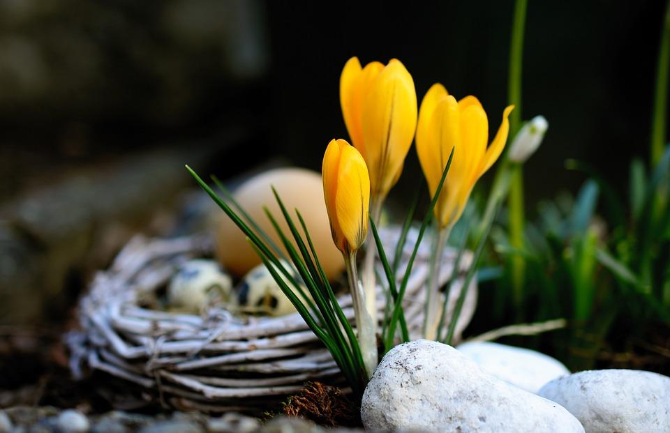 Crocus, Yellow Crocuses, Flowers, Yellow, Spring